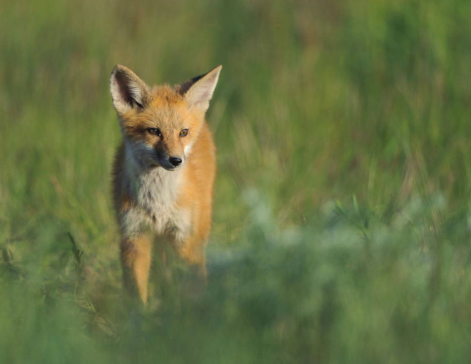 Fox Kit walking through spring grasses, Missoula, Montana