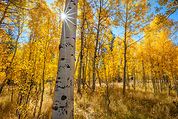 """Aspen at Fredrick's Meadow 10"" - Photograph of bear claw scratches and yellow aspen in the fall at Fredrick's Meadow, near Lake Tahoe and Fallen Leaf Lake."
