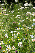 Ox-eye daisy, Leucanthemum vulgare, herbaceous perennial and other wildflowers in an English garden, UK