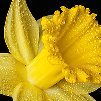Close up of a single Daffodil flower with water drops and black background.