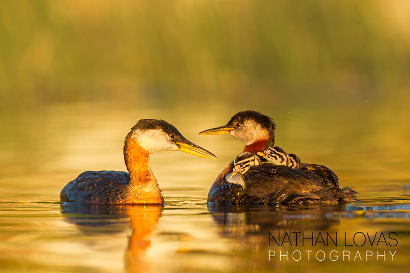 Red-necked Grebe fedding chicks on golden water;  MInnesota.