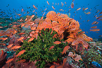 Scalefin Anthias' feed in the current above green and orange cup coral colonies.
