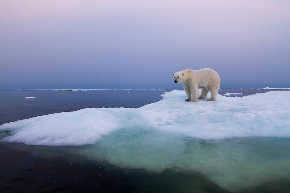 Canada, Manitoba, Churchill, Polar Bear (Ursus maritimus) standing on melting ice floe on summer evening