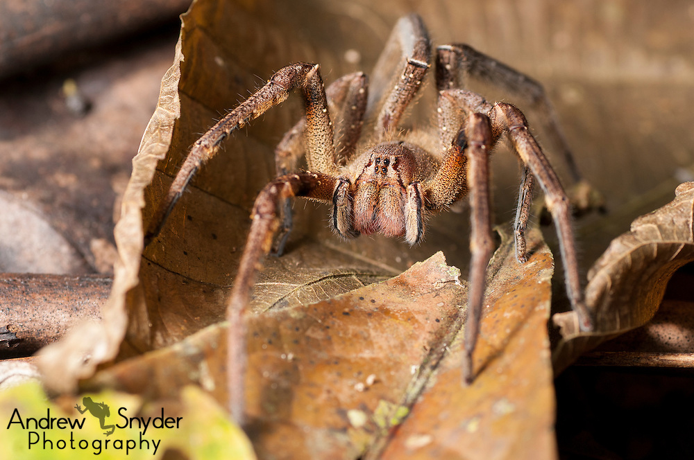 A Brazilian wandering spider (Phoneutria sp.) on the forest floor.