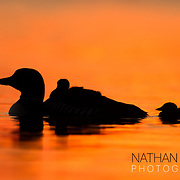 Common Loon with chicks at sunset on orange water;  Minnesota.
