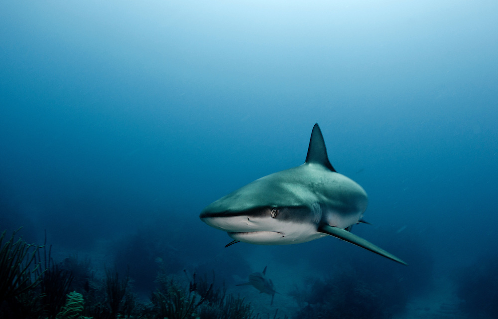 A Caribbean reef shark, Carcharhinus perezii, off Freeport Grand Bahama