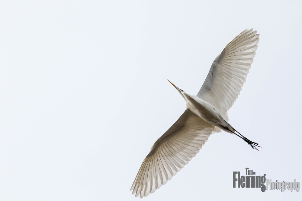 Great egret flying above Shollenberger Park, Petaluma, CA