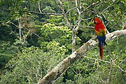 Scarlet Macaw<br />