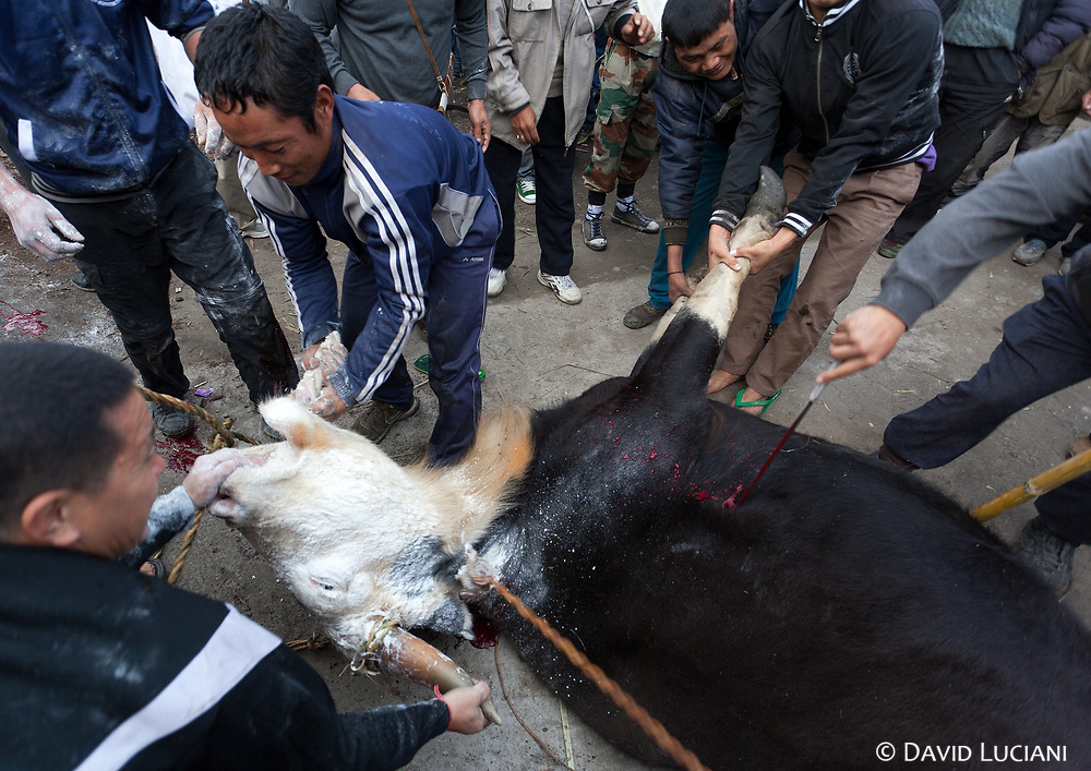 During Murung festival many Mithunes are sacrificed. As soon the animal collapses, rice powder is stuffed into its mouth and its body is stabbed several times.
