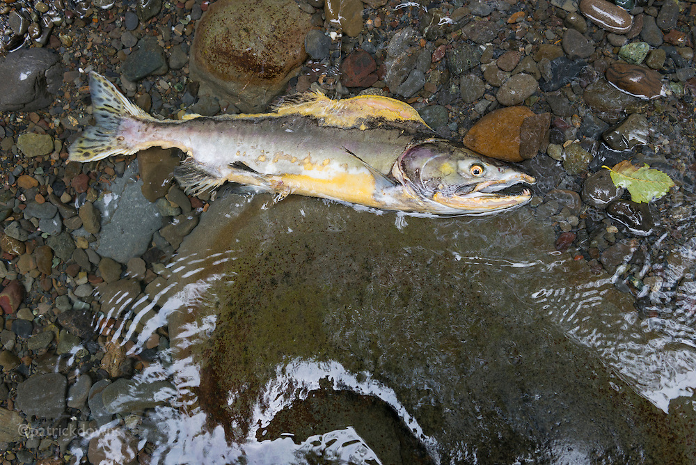 "A male pink salmon takes his last breaths after spawning. They are nicknamed ""humpy"" for the hump the males grow during the spawning migration upriver. This male is literally decomposing while alive, as they don't eat as they migrate and fight to spawn. They are migrating in large numbers up the Dungeness River, one of the steepest in the country, which originates high in the Olympic range."