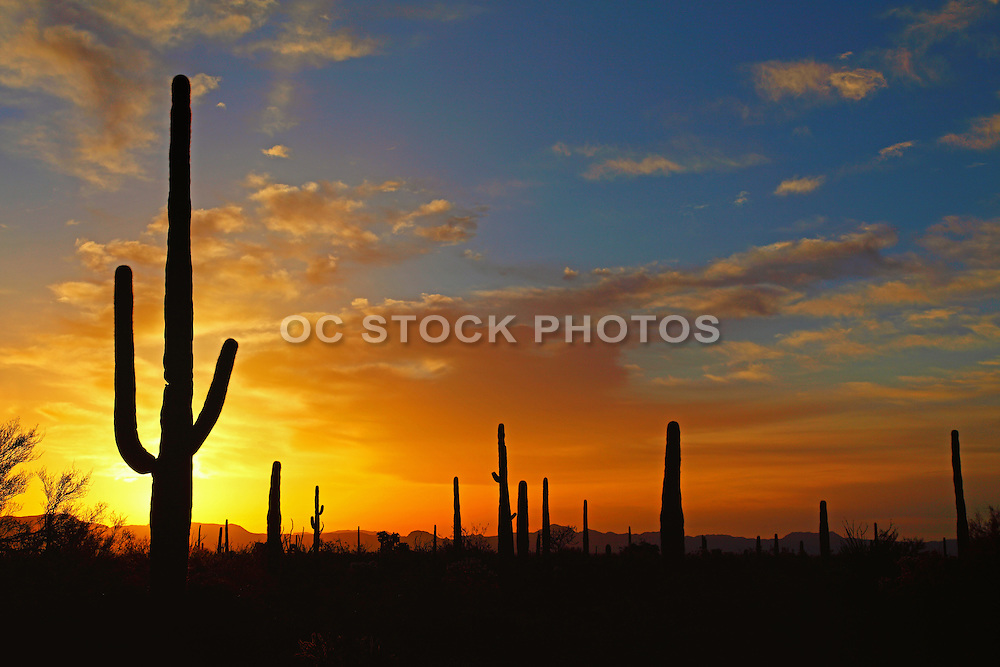 Large Cactus at Sunset in the Sonoran Desert of Arizona
