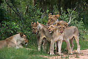 Lioness (Panthera leo) & cubs<br />