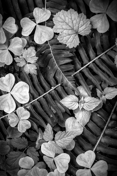Intimate black and white landscape featuring ferns and wood sorel on the forest floor of th Hoh Rainforest in Olympic National Park, Washington.