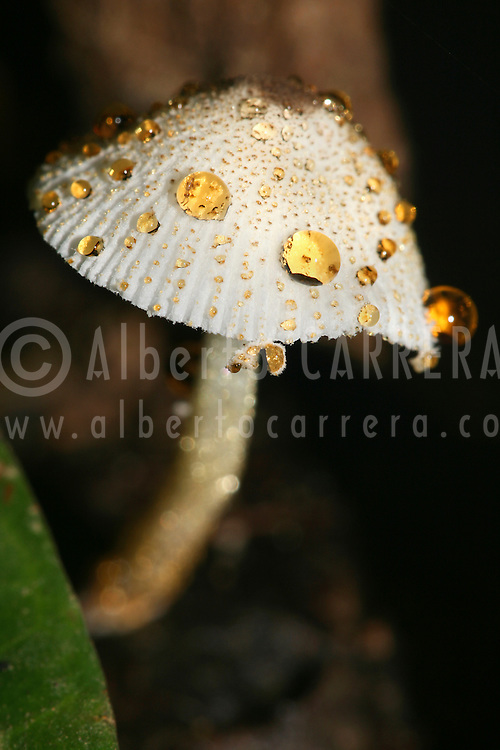 Alberto Carrera, Mushroom, Napo River Basin, Amazonia, Ecuador, South America, America