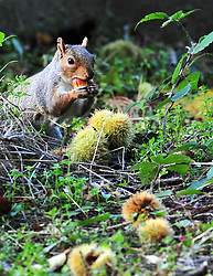 © Licensed to London News Pictures.14/10/2017.<br /> Sidcup, UK.<br /> A sunny autumn morning at Footscray Meadows in Kent as this squirrel has breakfast.<br /> Britain is set for a bright and sunny weekend before 100mph winds hit the UK next week. <br /> Photo credit: Grant Falvey/LNP