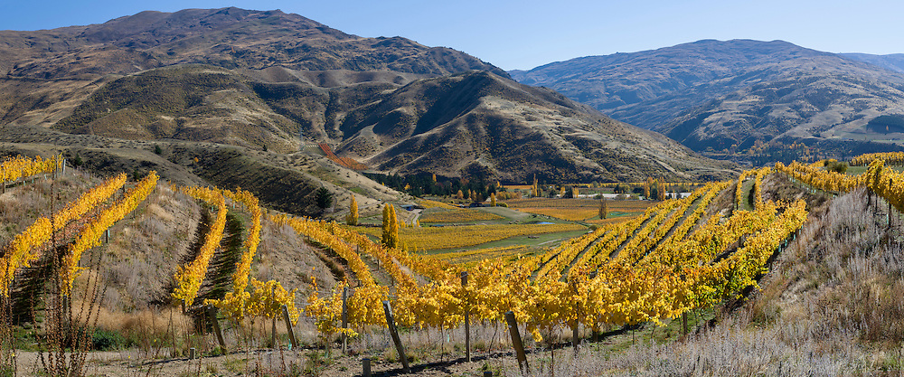 Vines on a hillside in bright yellow gold colour during autumn set against the barren looking hills around Bannockburn in Central Otago.