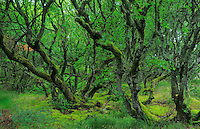 Birches (Betula pubescens) at  the Thagårds Plantation - National Park Thy, Denmark