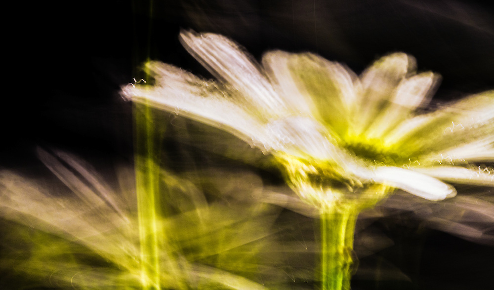 Motion blur of a white daisy.