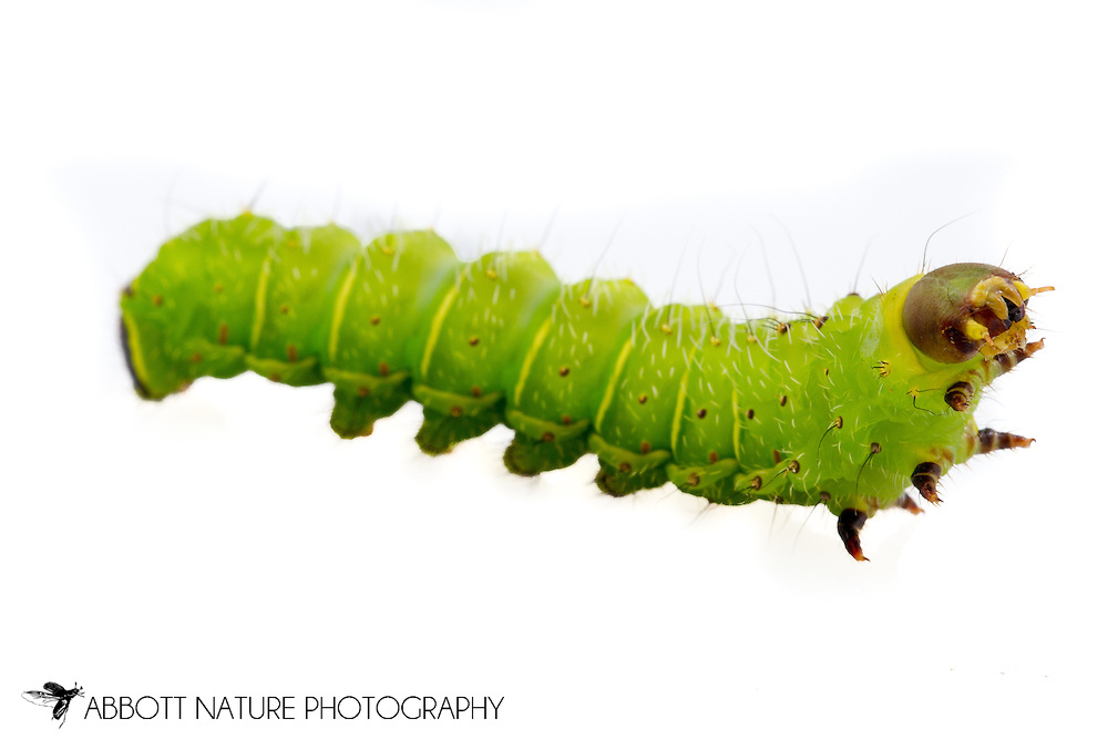Luna Moth (Actias luna) caterpillar<br /> reared individual<br /> 20-April-2015<br /> J.C. Abbott &amp; K.K .Abbott<br /> 5th instar