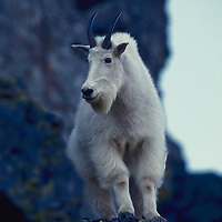 Mountain goat on cliff. Glacier National Park,Montana.