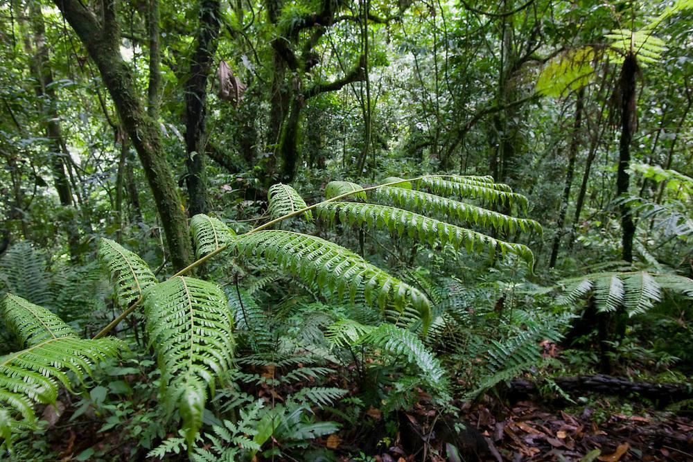 Africa, Uganda, Bwindi Impenetrable National Park, Lush vegetation in tropical rainforest in Bwindi Impenetrable Forest in Mountain Gorilla habitat