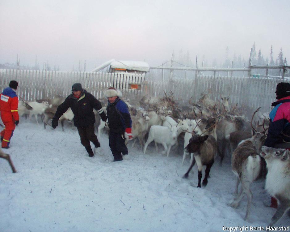 Sørsamisk reindrift i Nord-Trøndelag. Southsami reindeer herding in Mid-Norway. Slakting og skilling, Skjækerfjell reinbeitedistrikt (Skæhkere Sijte), Snåsa