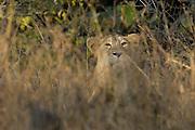 Sasan Gir - Monday, Jan 08 2007:  A male Asiatic Lion cub looks at the camera through forest vegetation at Gir National Park. (Photo by Peter Horrell / http://www.peterhorrell.com)
