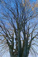 Large tree seen from below looking upward.