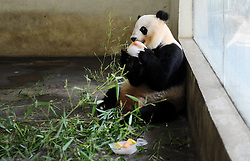 60263648  <br /> A panda eats iced fruits at an air-conditioned room to relieve the summer heat at Zhuyuwan Park in Yangzhou, east China's Jiangsu Province, July 31, 2013. Staff members of the park provided ice, fruits as well as air conditioners to animals Wednesday here to help them cope with the relentless heat in Yangzhou, China<br /> Wednesday, July 31, 2013<br /> Picture by imago / i-Images<br /> UK ONLY
