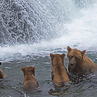 USA, Alaska, Katmai. Grizzly sow and three first-year cubs exploring Brooks Falls, Katmai National Park.