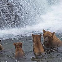 USA, Alaska, Katmai. Grizzly sow and three first-year cubs exploring Brooks Falls, Katmai National Park.