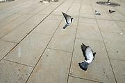 Pigeons in New Jersey in flight.