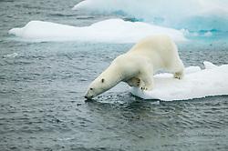 Polar bear (Ursus maritimus) on ice in Hinlopen, Svalbard