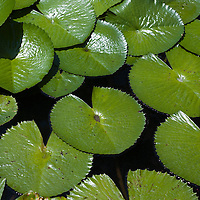 Water lillies, Miami, Florida, USA
