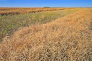 Canola swaths<br /> Indian Head<br /> Saskatchewan<br /> Canada