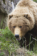 Alaskan Brown Bear<br /> Ursus arctos middendorffi<br /> Katmai National Park, AK