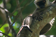 Maki à front blanc, Eulemur albifrons, Weißkopfmaki, white-fronted lemur, lémur cabeza blanca