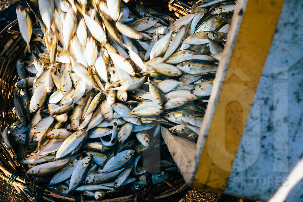 A basket full of fish at the local market, Jaffna Peninsula, Sri Lanka, Asia