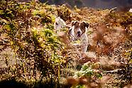 Charlie Jack Russell Terrier