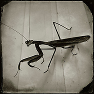 Praying Mantis, Plantsville, Connecticut, 2014.  (Photo by Robert Falcetti)