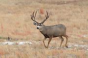 Enormous non-typical mule deer buck in habitat
