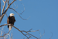 Bald Eagle perches in a tree the morning after a small snow storm in northern Utah.