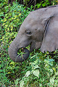 Young elephant with emerging tusks.