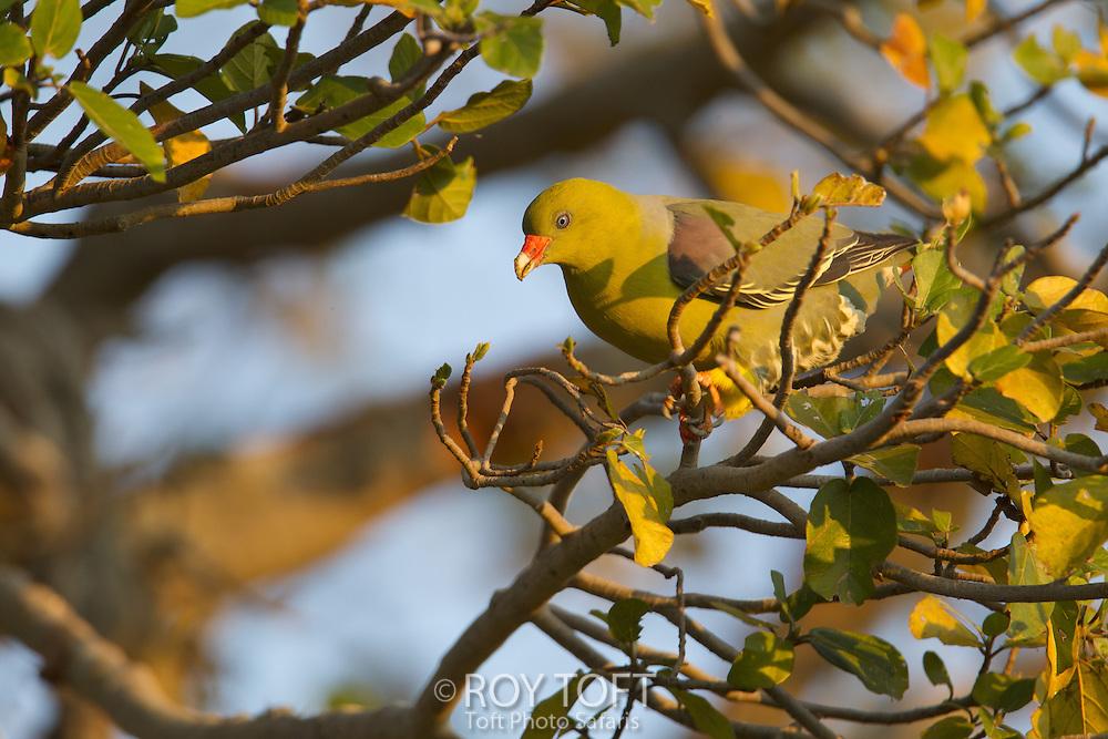 African green pigeon, Botswana
