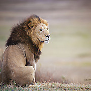 King of the Crater - Lion, Tanzania