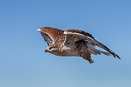 Ferruginous hawk in flight, © 2012 David A. Ponton