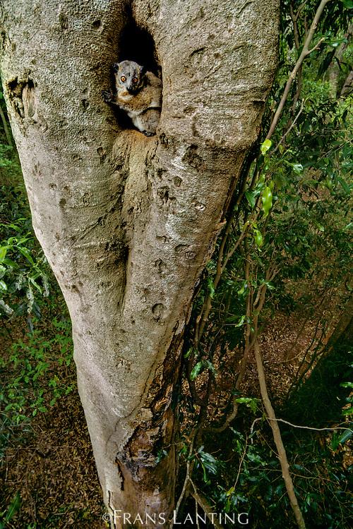 Sportive lemur in tree hole, Lepilemur mustelinus, Berenty Reserve, Madagascar