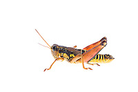IFTE-NB-007983; Niall Benvie; Podisma pedestris; grasshopper; Europe; Austria; Tirol; Fliesser Sonnenhänge; invertebrate insect arthropod; horizontal; high key; black yellow red white; controlled; one; upland grassland meadow; 2008; July; summer; backlight strobe; Wild Wonders of Europe Naturpark Kaunergrat
