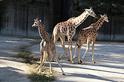 Three baby giraffes. Bogie the baby giraffe, has had to be hand raised at the Memphis Zoo  © Karen Pulfer Focht-ALL RIGHTS RESERVED-NOT FOR USE WITHOUT WRITTEN PERMISSION