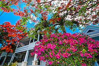 Royal poinciana tree (flame tree) and bougainvillea and house, Key West, Florida Keys, Florida USA